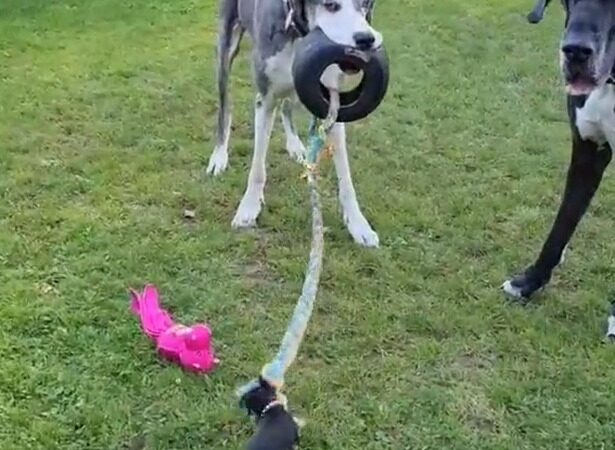 David vs Goliath – determined chihuahua takes on massive Great Dane at tug of war
